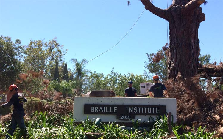branch-out-tree-care-santa-barbara-ca-landmark-tree-removal-at-braille-institute